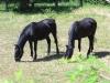 28-Cavalli