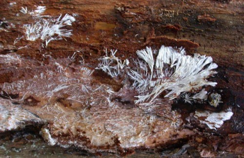 Micelio-armillaria