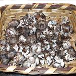 Hygromarzuolus