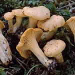 Canrharellus-cibarius