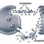 acetilcolinesterasi