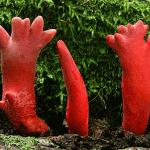 Podostroma-cornu-damae
