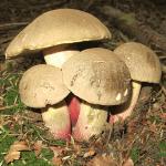 Boletus-calopus